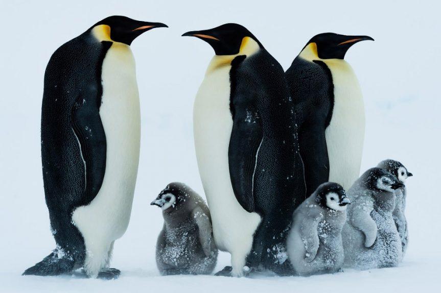 Информ — досье «Императорские пингвины»